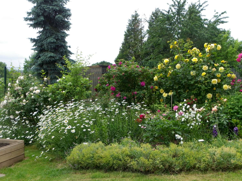 Massif de rosiers, pivoines et fleurs à couper