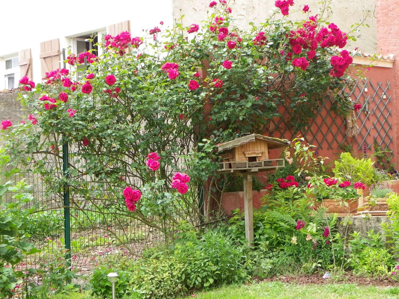 Le rosier grimpant de la terrasse